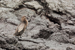 Flightless cormorant against a wall of lava deposits. Selective focus on the bird, foreground and background are out of focus Stock Photos