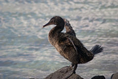 Flightless cormorant on Galapagos Islands Stock Photo