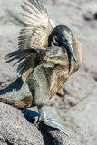 Flightless Cormorant. Drying its wings on Fernandina Island in the Galapagos Islands in Ecuador Royalty Free Stock Image