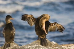 Flightless cormorant drying its wings. A Galapagos flightless cormorant scratches its back while trying to dry out its wings. Native to the Galapagos, this bird Stock Images