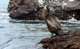 Flightless Cormorant in the Galapagos Stock Photo