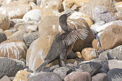 Flightless Cormorant in the Galapagos Islands. Flightless Cormorant on Isabela Island in the Galapagos Islands Stock Images