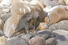 Flightless Cormorant Preening on a Rocky Shore. On Isabela Island in the Galapagos Islands Stock Photography