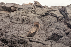 Flightless cormorant with rocks of ropy pahoehoe. Selective focus on the bird. The background softens as distance increases Royalty Free Stock Images