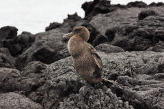 Flightless cormorant sitting on one leg. Selective focus on the bird, foreground and background are out of focus Royalty Free Stock Image