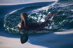 Flightless cormorant swimming in the Galpagos Royalty Free Stock Image