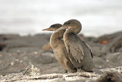 Flightless Cormorants, Galapagos Islands, Ecuador Stock Photography