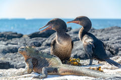 Flightless Cormorants and Marine Iguana. Two flightless cormorants and a marine iguana on Fernandina Island in the Galapagos Islands in Ecuador royalty free stock photography
