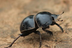 Flightless Dung Beetle Royalty-vrije Stock Foto's