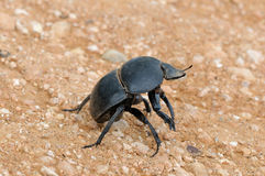 Flightless Dung Beetle in the Addo Elephant National Park Stock Photos