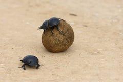Flightless Dung Beetle, Addo Elephant National Park fotografering för bildbyråer