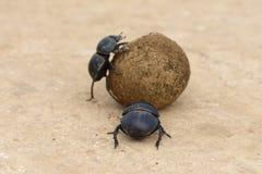 Flightless Dung Beetle, Addo Elephant National Park royaltyfri fotografi