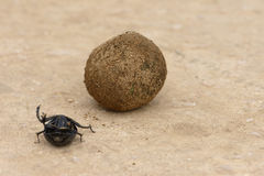 Flightless Dung Beetle, Addo Elephant National Park. Eastern Cape, South Africa Stock Photos