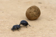 Flightless Dung Beetle, Addo Elephant National Park. Eastern Cape, South Africa Stock Images