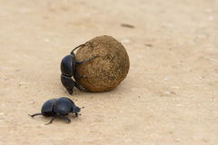 Flightless Dung Beetle, Addo Elephant National Park. Eastern Cape, South Africa Stock Photo