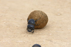 Flightless Dung Beetle, Addo Elephant National Park. Eastern Cape, South Africa Stock Image