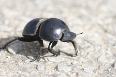 Flightless Dung Beetle, Addo Elephant National Park. Eastern Cape, South Africa Stock Photography