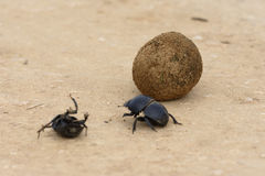 Flightless Dung Beetle, Addo Elephant National Park Stock Photo