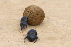 Flightless Dung Beetle, Addo Elephant National Park Stock Image