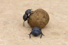 Flightless Dung Beetle, Addo Elephant National Park. Eastern Cape, South Africa Royalty Free Stock Photography