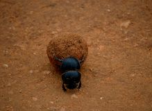 Flightless Dung Beetle, Addo Elephant National Park, South Africa Stock Photography