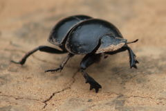 Flightless Dung Beetle. Found in Addo Elephant Park Royalty Free Stock Image