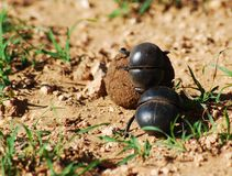 Flightless dung beetle rolling ball Stock Photo