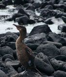 Flightless Kormoran in den Galapagos stockbilder