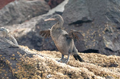 Flightless kormoran, Galapagos arkivfoto