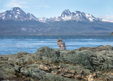 Flightless Steamer-Duck and mountains at Tierra del Fuego National Park in Patagonia - Ushuaia, Tierra del Fuego, Argentina. Flightless Steamer-Duck and Royalty Free Stock Photo