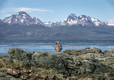 Flightless Steamer-Duck and mountains at Tierra del Fuego National Park in Patagonia - Ushuaia, Tierra del Fuego, Argentina. Flightless Steamer-Duck and Stock Photo