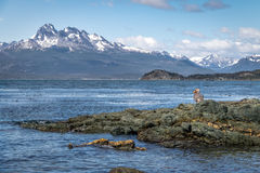 Flightless Steamer-Duck and mountains at Tierra del Fuego National Park in Patagonia - Ushuaia, Tierra del Fuego, Argentina. Flightless Steamer-Duck and Stock Images