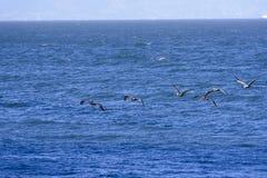 Fligth von braunen Pelikanen lizenzfreie stockfotografie