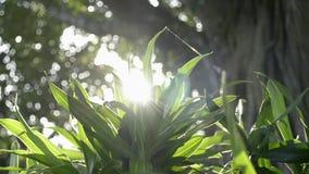 Flikkerende zonnestralen achter tropische installaties, Schoonheid van zon die door de groene bladeren van de boom glanst stock videobeelden