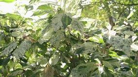Flikkerende zonnestralen achter tropische installaties, Schoonheid van zon die door de groene bladeren van de boom glanzen stock footage