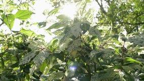 Flikkerende zonnestralen achter tropische installaties, Schoonheid van zon die door de groene bladeren van de boom glanzen stock video