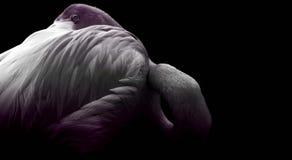 Flikkering van purpere flamingo royalty-vrije stock fotografie