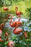 Flimingo dance. Several pink flamingos pose in the green water Royalty Free Stock Photos