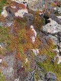 Flinders Chase national park. Succulent plants on the rocks of Flinders Chase on Kangaroo island in Australia Royalty Free Stock Photo