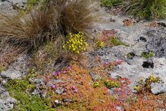 Flinders chase national park. Succulent plants on the rocks of Flinders Chase on Kangaroo island in Australia Royalty Free Stock Image