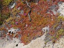 Flinders chase national park. Succulent plants on the rocks of Flinders Chase on Kangaroo island in Australia Stock Photo