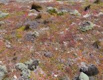 Flinders chase national park. Succulent plants on the rocks of Flinders Chase on Kangaroo island in Australia Stock Photos