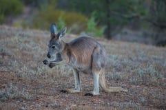 Flinders strekt zich 3 uit Stock Foto's