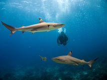 Flinders4T. Blacktip Reef Shark (Carcharhinus melanopterus) swimming over tropical coral reef, diver in background stock photo
