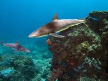 FlindersT. Grey Reef Shark (Carcharhinus amblyrhynchos), swimming over reef stock photography