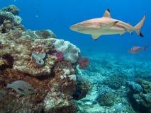 FlindersT2. Blacktip Reef Shark (Carcharhinus melanopterus) swimming over tropical coral reef royalty free stock photography