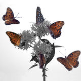 Fling Around. Monarch Butterflies flying around a penta in seclted color Royalty Free Stock Photo