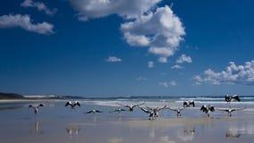 Fling away. Australia,pellican in frazer island Royalty Free Stock Photography