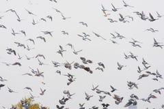 Fling de pigeons Images libres de droits