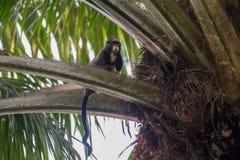 Flinkes Seidenäffchen, das auf dem Baum (die Republik Kongo, isst) Stockfoto